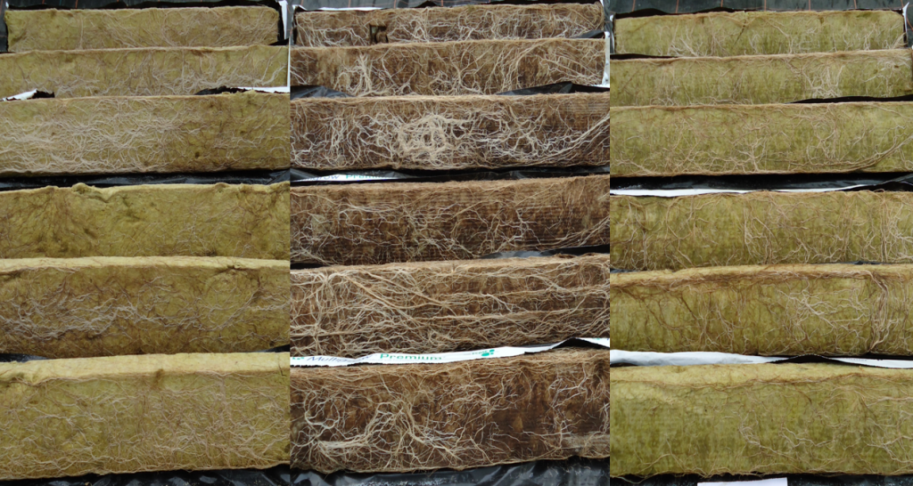 SpeedGrow roots compared to competitors. Speedgrow shown in the middle. Stone Wool Growing Results.